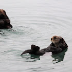 Northern Sea Otters
