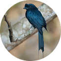Drongo Bird Sounds icon