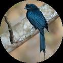 Drongo Bird Sounds icon