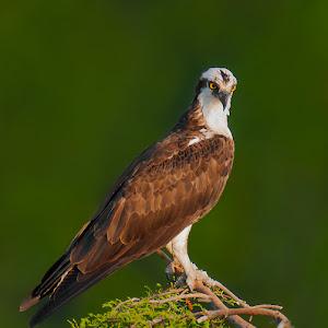 Osprey-at-Nest-O-52908.jpg