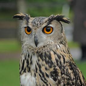 European Eagle Owl by Tony Murtagh - Animals Birds ( blurred, high quality, birds,  )