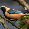 Saíra-amarela (Burnished-buff Tanager) - Male