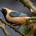 Saíra-amarela (Burnished-buff Tanager) - Male