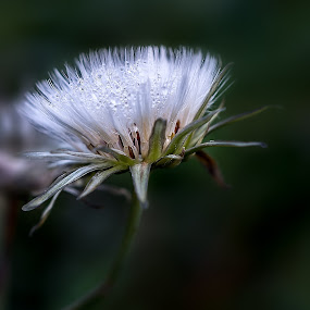 Flower Dew by Ashraf Jandali - Nature Up Close Flowers - 2011-2013