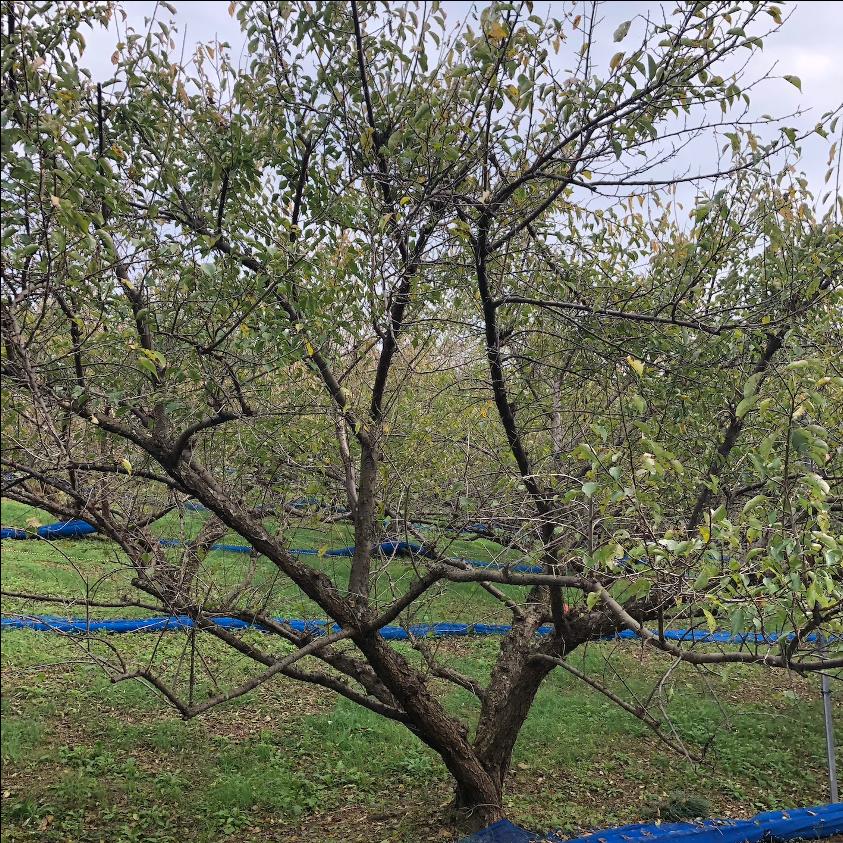 和歌山県みなべ町で撮影した梅の木