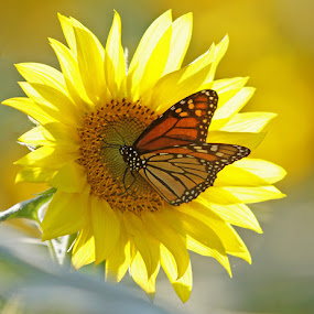 Monarch and Sunflower by Jack Nevitt - Nature Up Close Flowers - 2011-2013 ( butterfly, monarch, bright, sunflower, yellow )