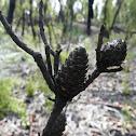 Conesticks (bushfire recovery)