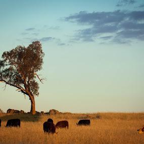 The Tree on the Hill by Daniel Wheeler - Landscapes Prairies, Meadows & Fields ( farm, field, hill, tree, australia, meadow, rock, cows )