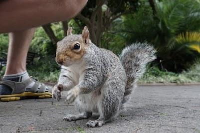 Zutrauliches Eichhörnchen in den Company Gardens