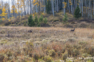 Photo: Doe with two yearlings down the road