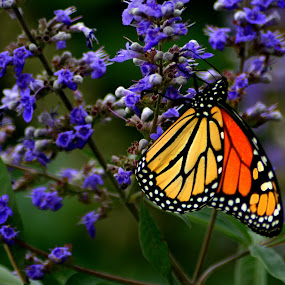 Purple by Chandal Chenier - Animals Insects & Spiders ( orange, moarch, butterfly, purple )