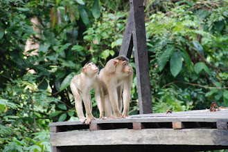 Photo: The Makak monkeys also like to get fed in Sepilok