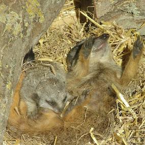 by Rachel Startin - Animals Other Mammals ( meercat )