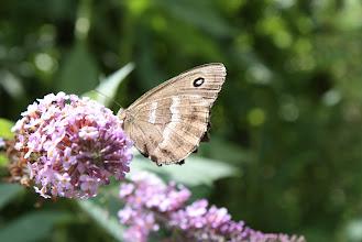Photo: Minois dryas     Lepidoptera Nymphalidae