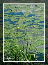 Photo: Nénuphar jaune, Nuphar lutea