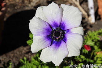 Photo: 拍攝地點: 梅峰-溫帶花卉區 拍攝植物: 白頭翁 拍攝日期: 2014_11_25_FY