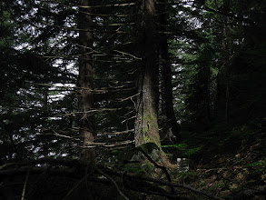 Photo: Through a pine forest in cool mid-day