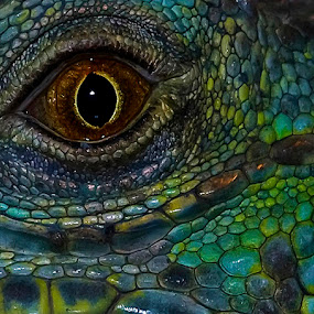 Iguana Close-up by Tom Theodore - Animals Reptiles ( iguana )