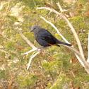 Tristram's Starling