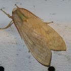 Arctiine tussock moth