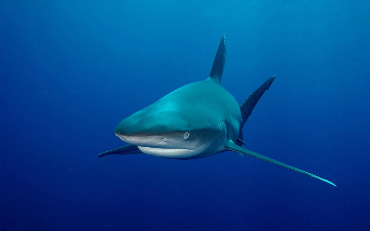 live shark wallpaper - photo #4