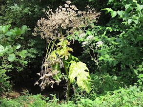 Photo: 26 Aug 13 Priorslee Lake How the might have fallen – well are falling anyway. A once proud Giant Hogweed plant collapsing under the weight of its own ripe seeds in the umbels. (Ed Wilson)