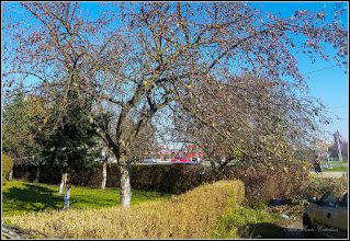 Photo: Măr decorativ (Malus Royalty)   - din Turda, Calea Victoriei, parcul Bisericii Ortodoxe din Mr.3 - 2018.11.07