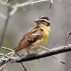 Lark Sparrow (juvenile)