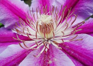 Photo: Purple Clematis
