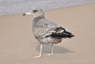 Photo: California Gull (1st cycle). New Buffalo, MI.