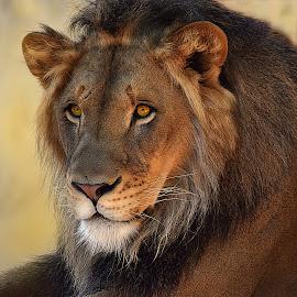 King by Shawn Thomas - Animals Lions, Tigers & Big Cats ( large, predator, king, pride, cat, carnivore, mane, lion, wildlife )