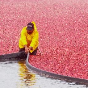 Cranberry Harvest by Howard Mattix - Landscapes Prairies, Meadows & Fields ( labor, rainy day, colorful, harrvest, cape cod, cranberries )