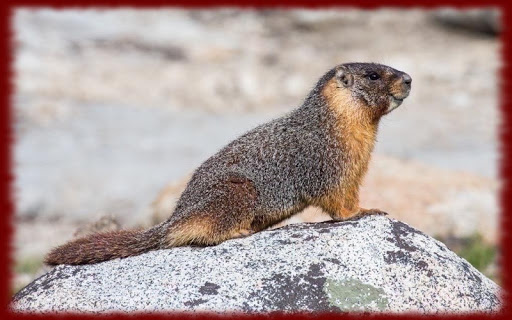 Marmots wallpapers