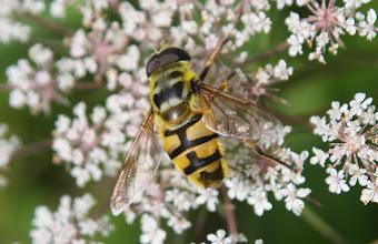 Photo: Myathropa florea  Diptera > Syrphidae