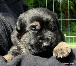 Photo: schwarz-gelber Rüde Nr. 2, 2 Wochen alt