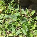Broadleaf Plantain