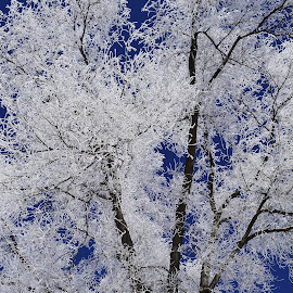 Frost. by Denton Thaves - Nature Up Close Trees & Bushes ( tree )