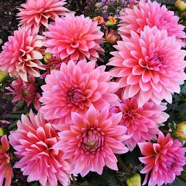 Dahlias by Carol Leynard - Flowers Flower Gardens ( pink flowers, flowers, dahlia, garden )