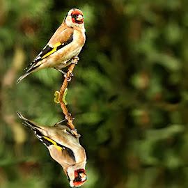 Chardonneret by Gérard CHATENET - Animals Birds