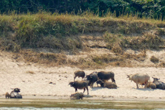 Photo: Water buffalo were seen frequently on our way back to Luang Prabang.