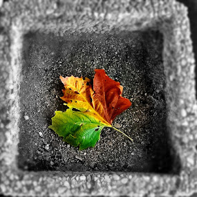 Autumn leaf by Ciprian Apetrei - Nature Up Close Leaves & Grasses ( selective color, autumn, nature up close, brittany, leaf,  )