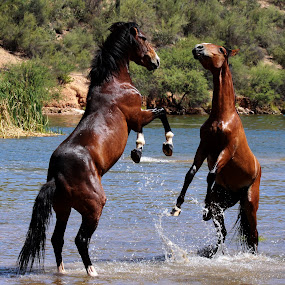 The Dual  by Deb Bulger - Animals Horses ( horses in water, horses sparring, animals, equine, nature, wildlife, salt river wild horses, wild horses,  )
