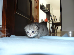 Photo: Rania - Black silver tabby (19 días)