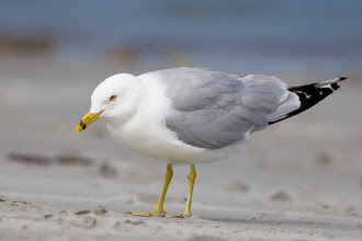 Photo: Ring Billed Gull, Shallow Bay, Gros Morne