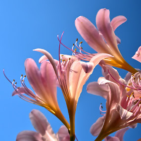 surprise lillies by Jody Jedlicka - Flowers Flowers in the Wild ( single flower, midwest, flowers, botanical, lilly )