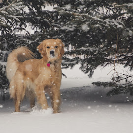 Snowy Nose by Ryan Inhof - Animals - Dogs Playing