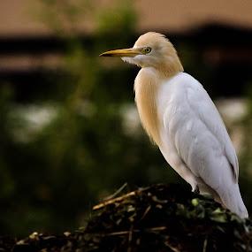 by Manjunath Nagesha Rao - Animals Birds