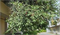 Photo: Vișin (Prunus cerasus) - de pe Str. Armoniei - 2016.06.20 album; http://ana-maria-catalina.blogspot.ro/2016/06/visin-prunus-cerasus.html