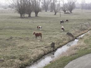 Photo: Na pastwiskach pod wierzbami pasą się zwierzęta gospodarskie.