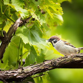 Sparrow in the vines by Kiril Krastev - Animals Birds ( bird, razgrad, grapes, vines, green, grape, vine, branch, little, branches, bulgaria, sparrow )